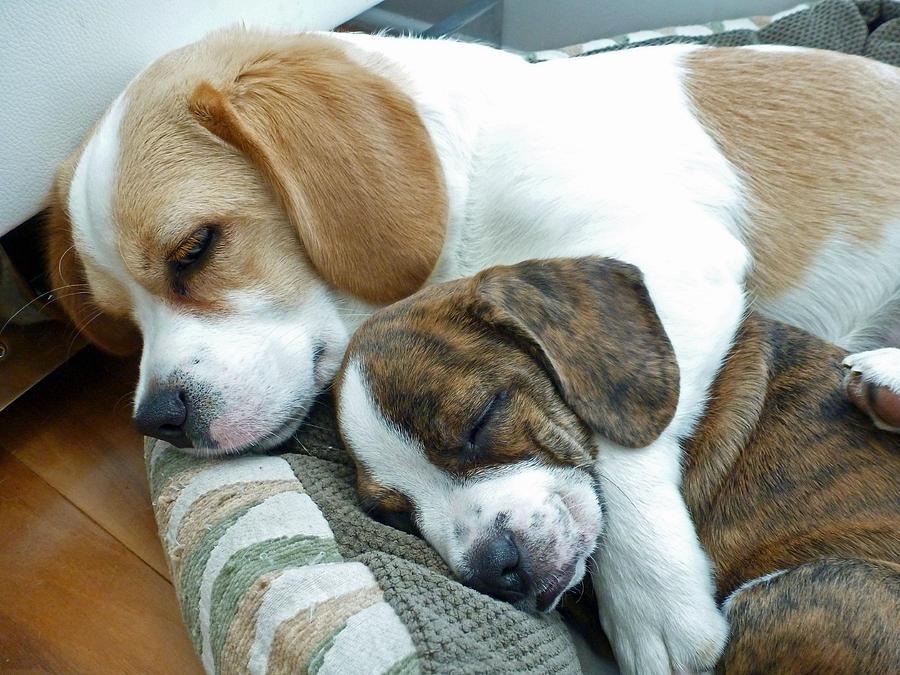 Dog Photograph - Iggy And Bogie by Felix Concepcion