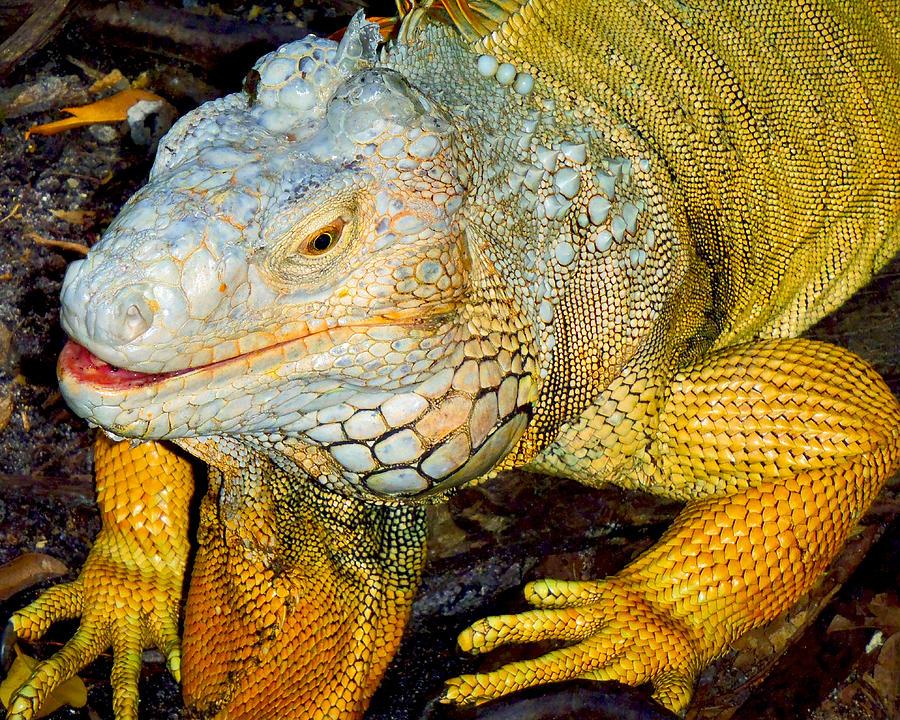 Iguana Photograph - Iggy by Carey Chen
