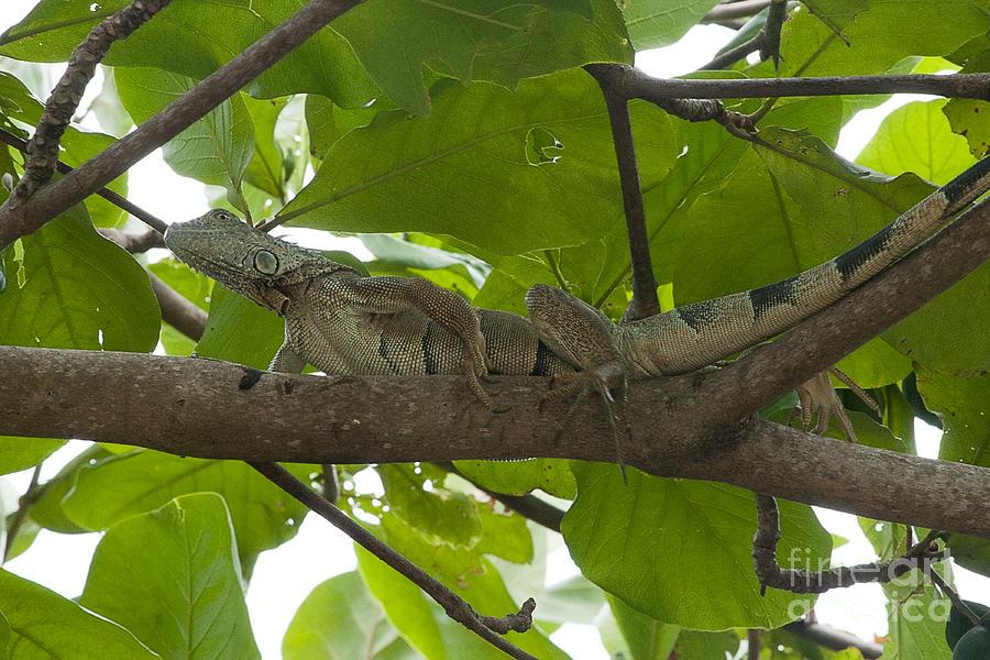 Iguana Photograph - Iguana In Tree by Dan Friend