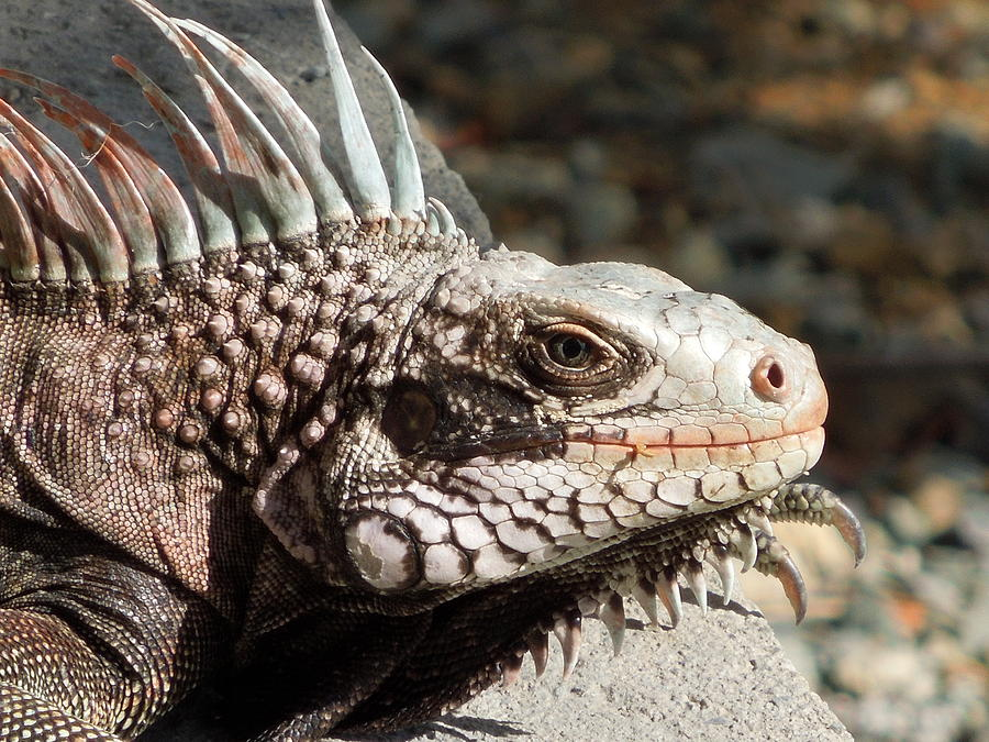 Iguana Photograph - Iguana by Jodi Terracina