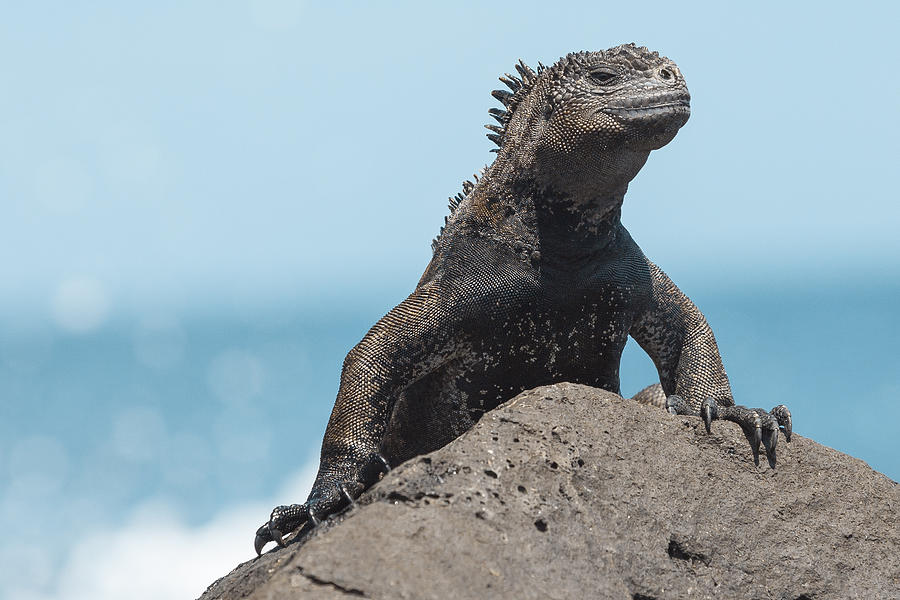Iguana Photograph by Juan Gabriel Ortiz