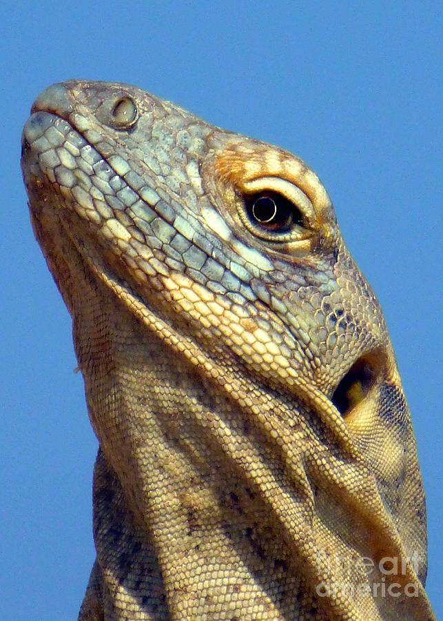 Iguana Portrait Photograph