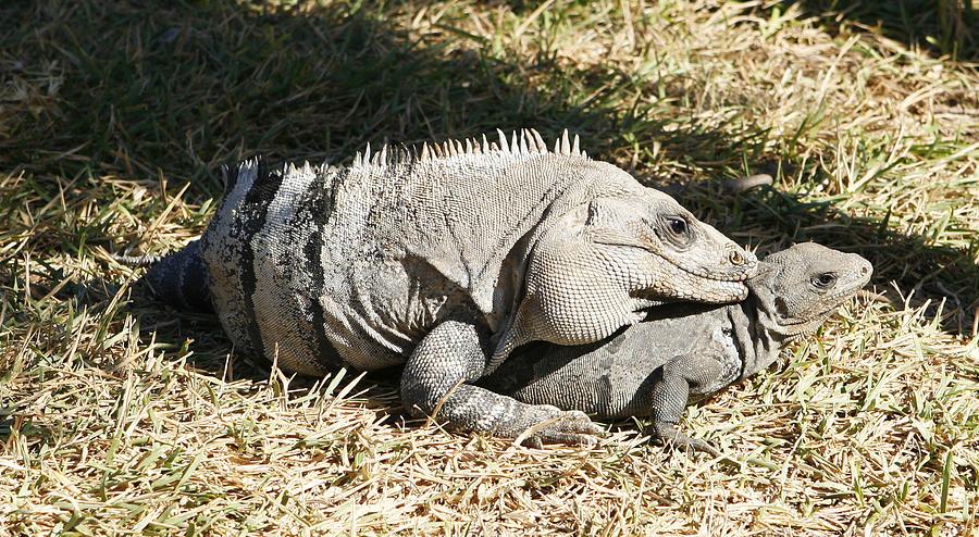 Iguana sex