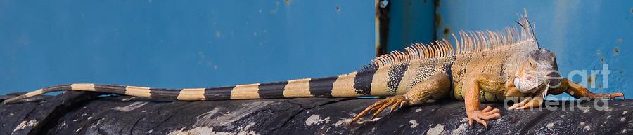 7 Mile Bridge Photograph - Iguana by Tracy Knauer