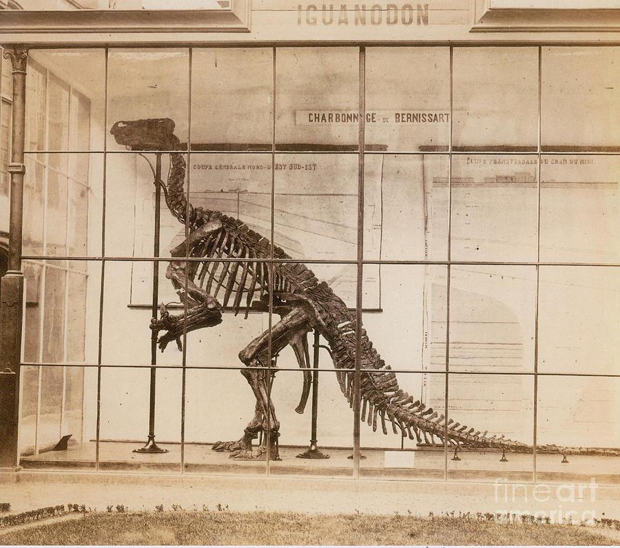 Dinosaur Photograph - Iguanodon Skeleton Mesozoic Dinosaur by Science Source