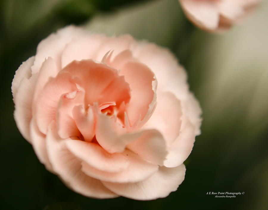 Rose Photograph - Illuminated Pinkness by Alexandra  Rampolla