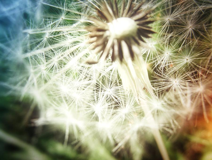 Dandelion Photograph - Illuminated Wishes by Marianna Mills