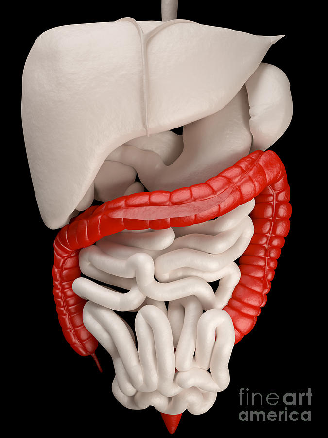 Science Photograph - Illustration Of Digestive System by David Marchal