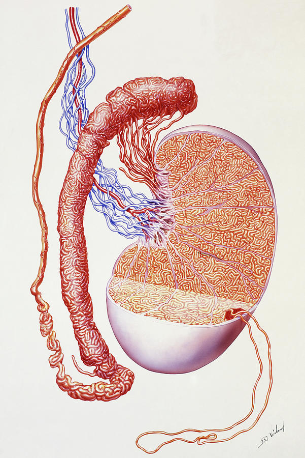 Illustration Of The Structure Of A Human Testis Photograph By Bo