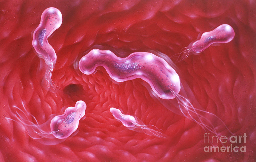 Artwork Photograph - Illustration Showing H-pylori Bacteria by Jim Dowdalls