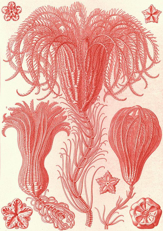 Illustration Drawing - Illustration Shows Marine Animals. Crinoidea by Artokoloro