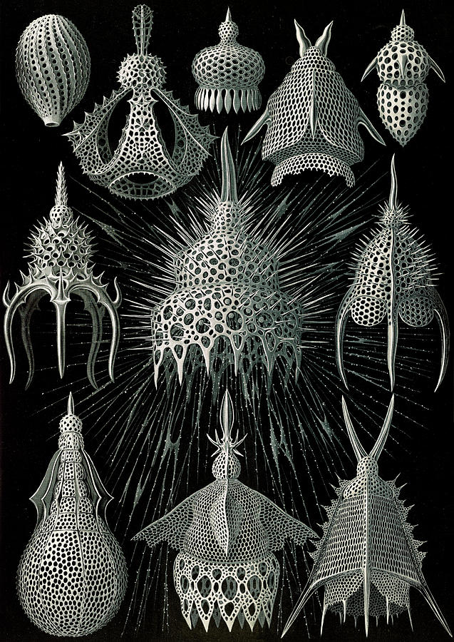 Illustration Drawing - Illustration Shows Microorganisms In The Class Radiolaria by Artokoloro