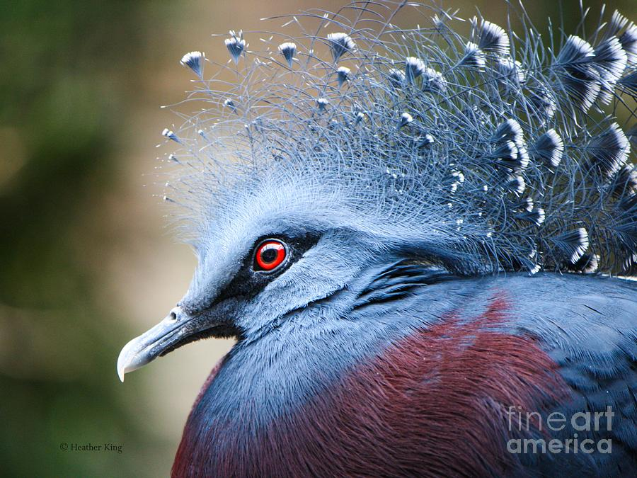 Pigeon Photograph - Illustrious by Heather King