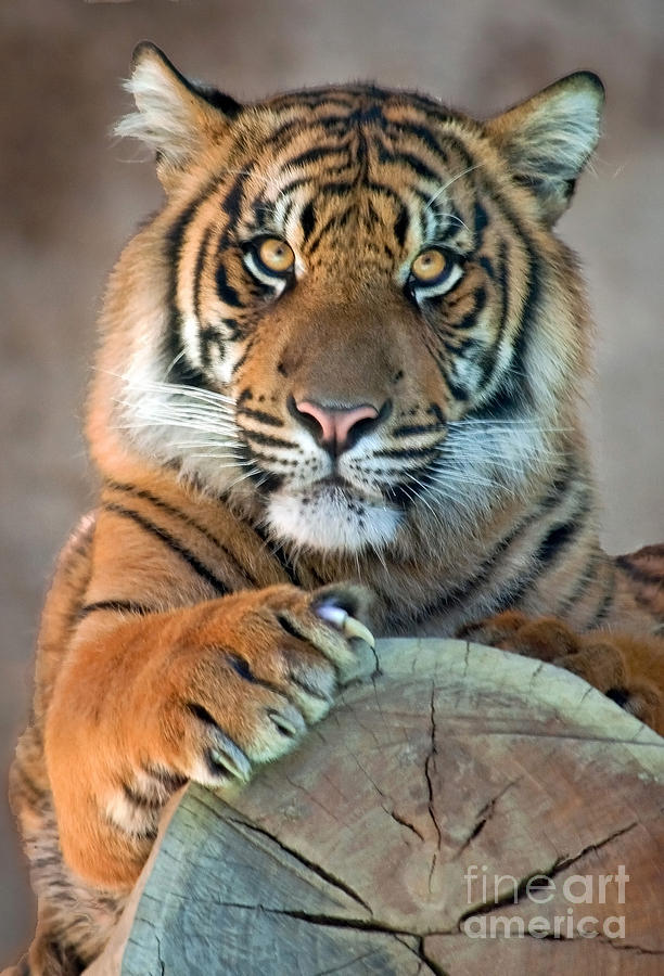 Tiger Photograph - Im Listening by Dan Holm
