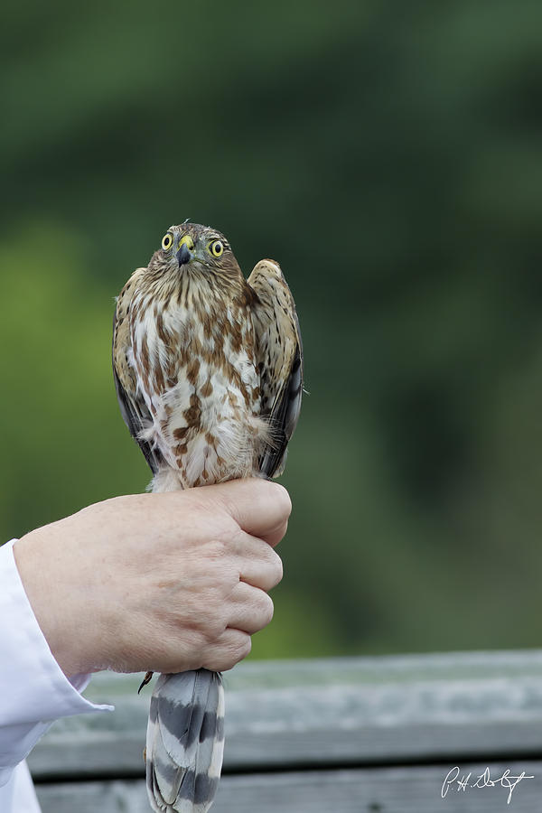 Accipiter Striatus Photograph - Im Not A Sno-cone by Phill Doherty