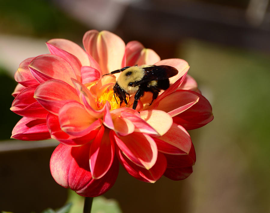 Dahlia Photograph - Im On The New Pollen Diet by Lori Tambakis