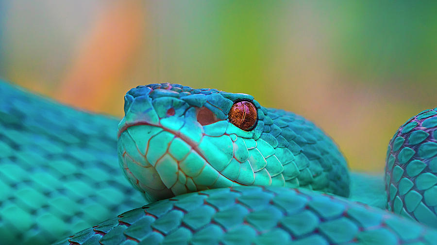 Snake Photograph - Im Ready by Sabriamin M
