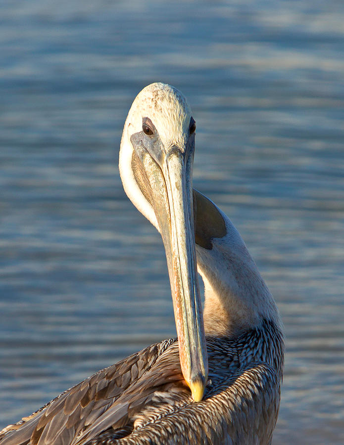 Pelican Photograph - Im Sexy And I Know It by Robert Bascelli