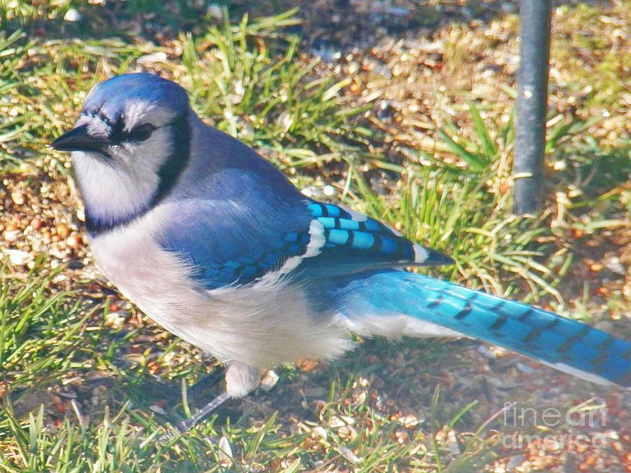 Blue Jay Photograph - Im So Blue by Judy Via-Wolff