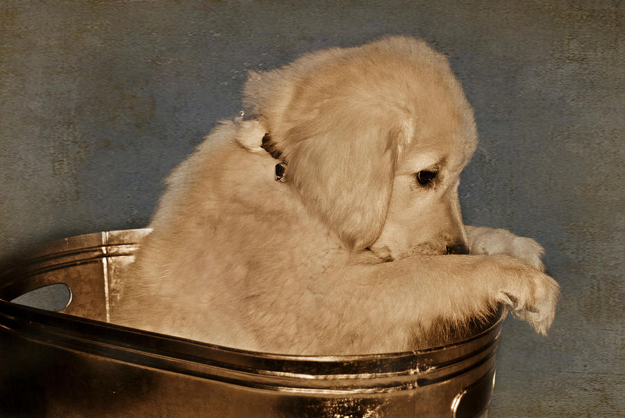 Golden Retriever Photograph - Im Sorry by Maria Dryfhout
