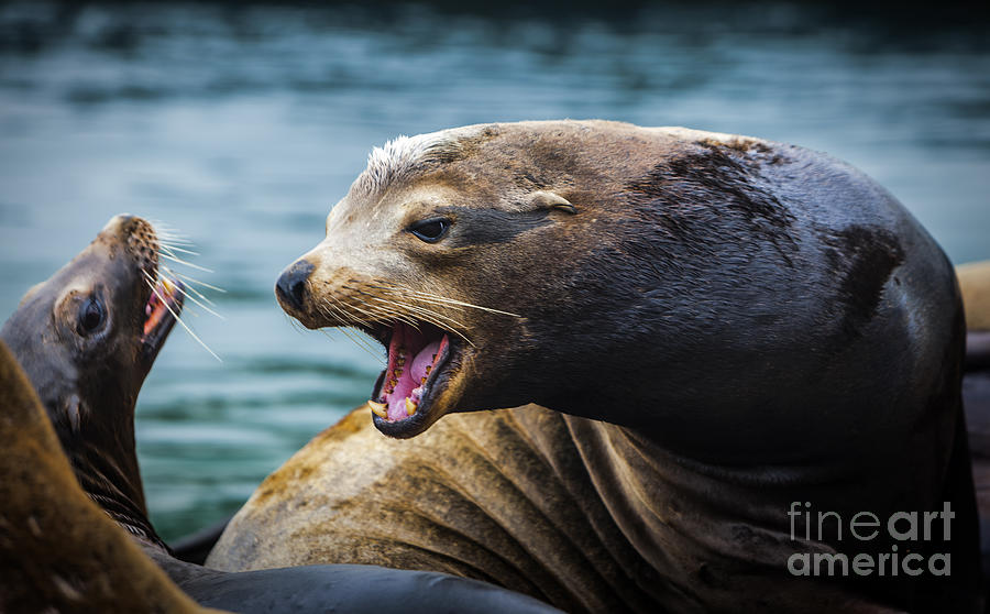 Sealion Photograph - Im The Boss by David Millenheft