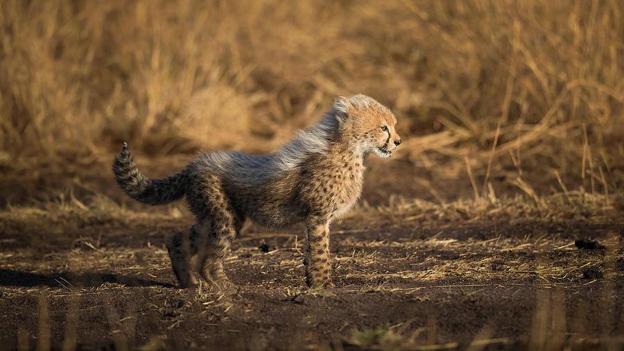 Cheetah Photograph - Im The Son Of Malaika by Faisal Alnomas