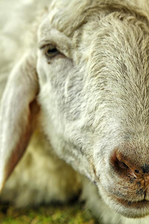 Sheep Photograph - Im Too Tire by Suradej Chuephanich