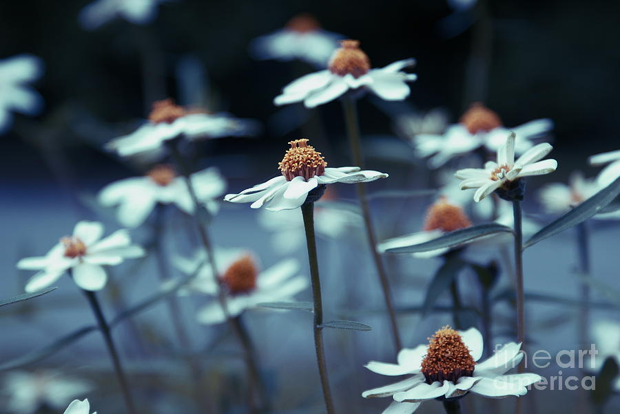 Daisies Photograph - Imagine F03a by Variance Collections