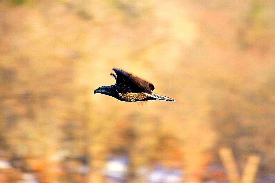 Bald Eagle Photograph - Immature Eagle In Flight by David Tennis