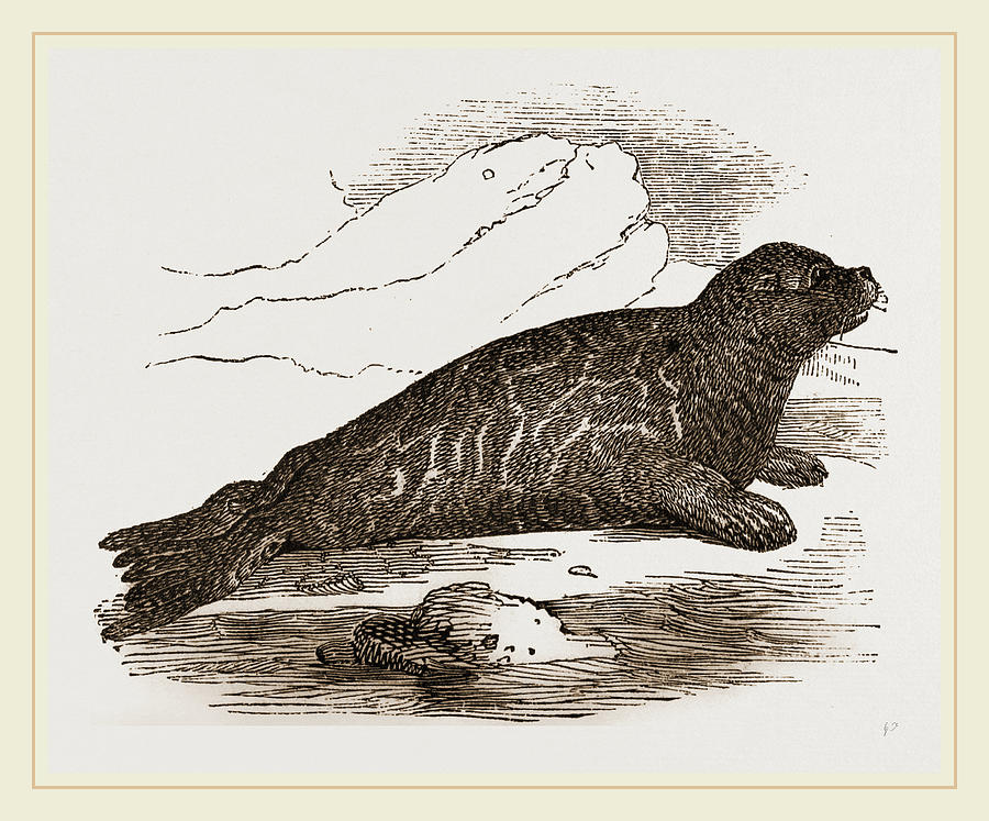 immature harp seal drawing by litz collection