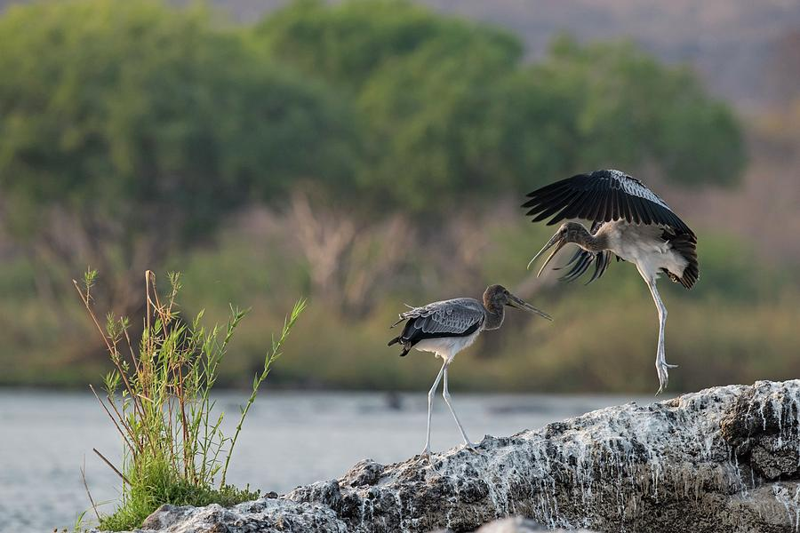 Africa Photograph - Immature Yellow-billed Storks At Play by Tony Camacho/science Photo Library