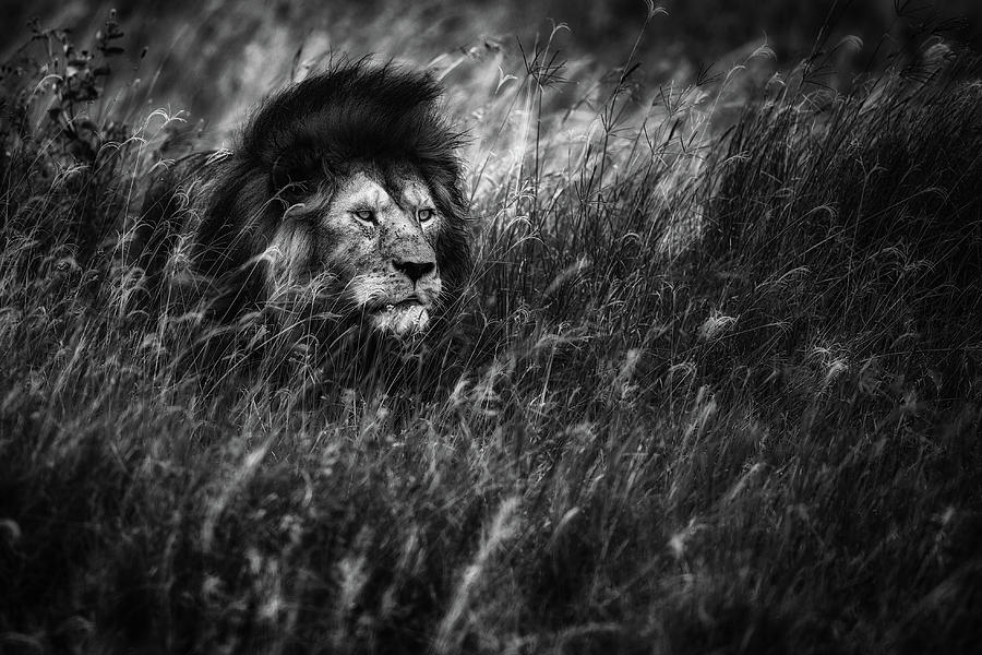 Lion Photograph - Immortal by Mohammed Alnaser