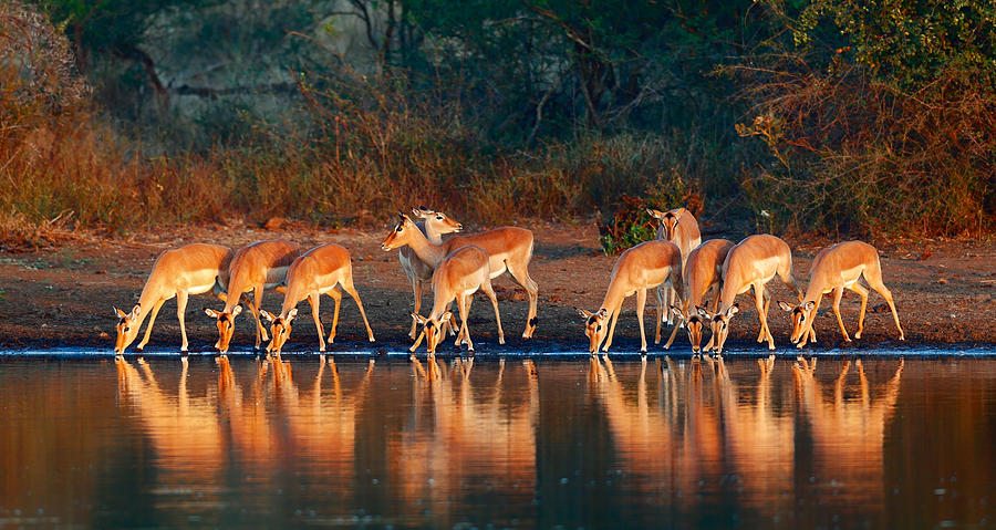 Impala Photograph - Impala Herd With Reflections In Water by Johan Swanepoel