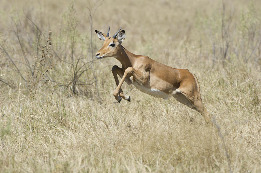 Escape Photograph - Impala Leaping Through Savanna by Richard Berry