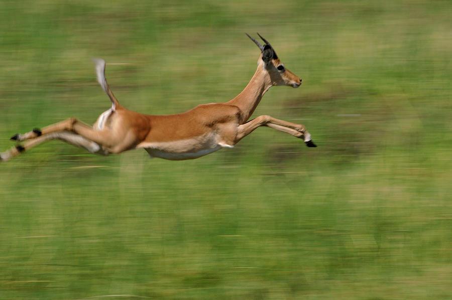 impala animal jumping - 900×597