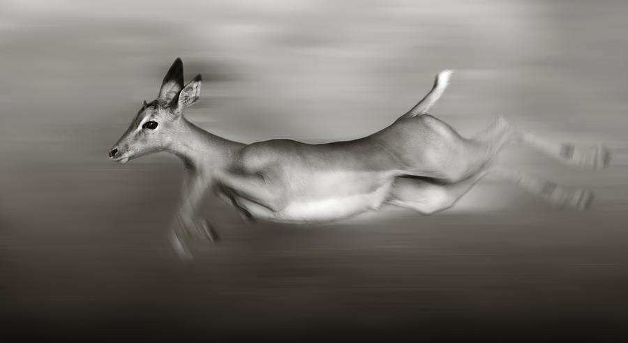 Outdoor Photograph - Impala Running  by Johan Swanepoel