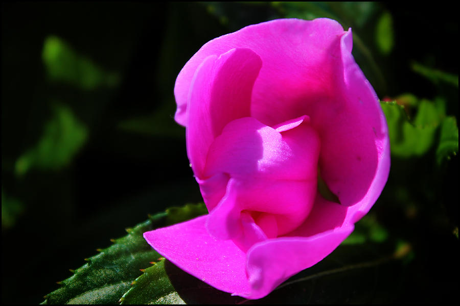 Flower Photograph - Impatiens by Aya Murrells