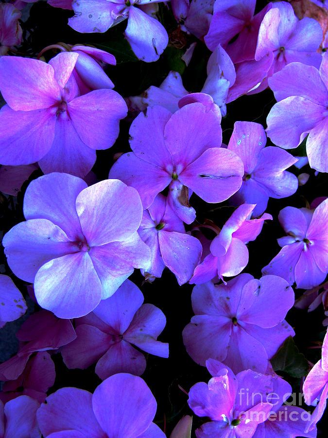 Flower Photograph - Impatients by Nancie Johnson
