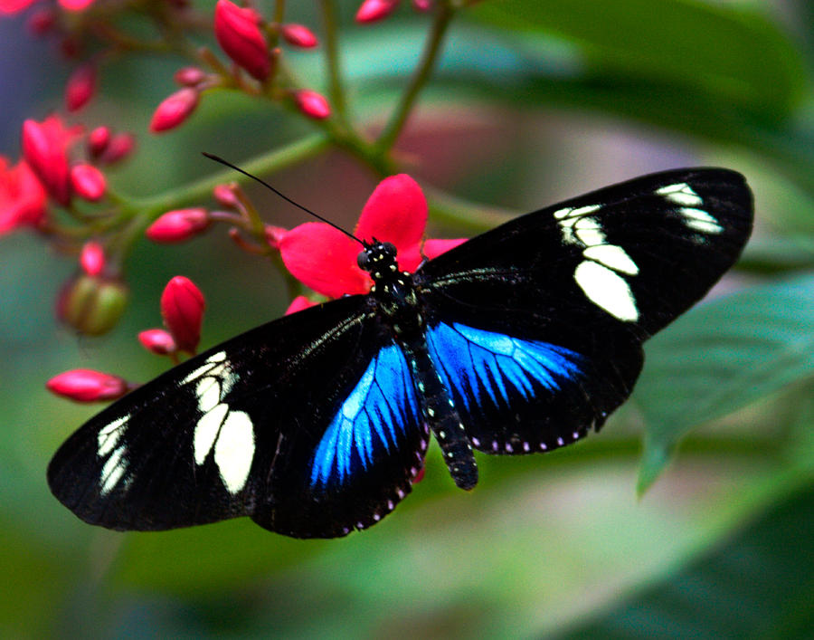 Butterflies Photograph - Imperfect Beauty In Black And Blue On Red by Karen Stephenson
