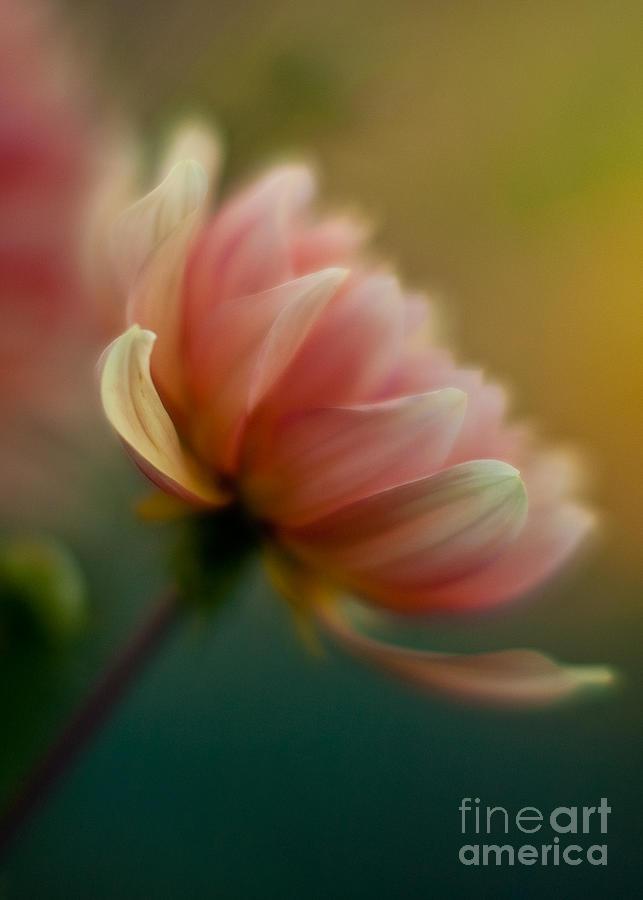 Dahlia Photograph - Impressionist Dahlia by Mike Reid