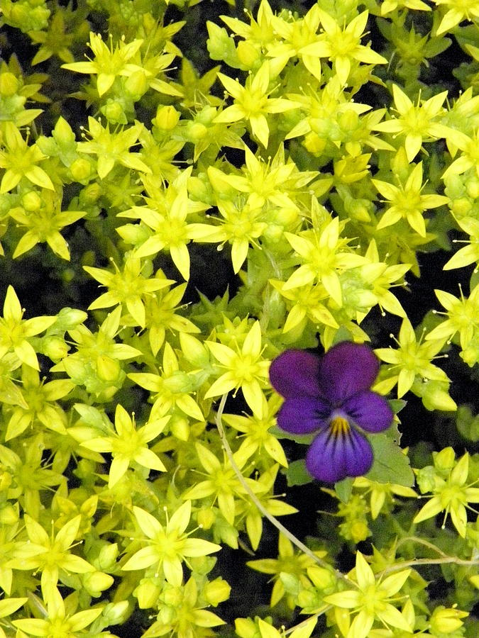 Flowers Photograph - In A Sea Of Yellow by Marijo Fasano