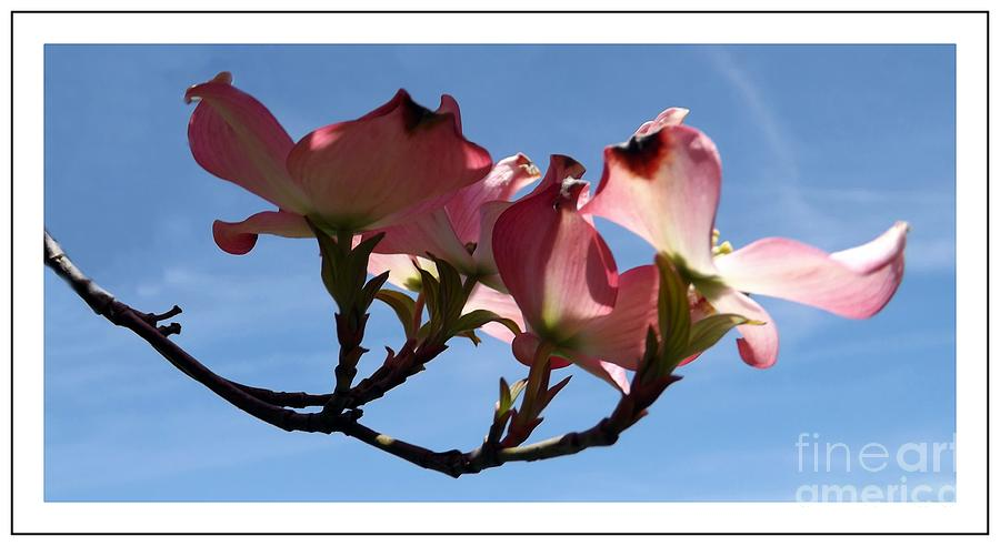 Dogwood Photograph - In All Its Glory by Sara  Raber