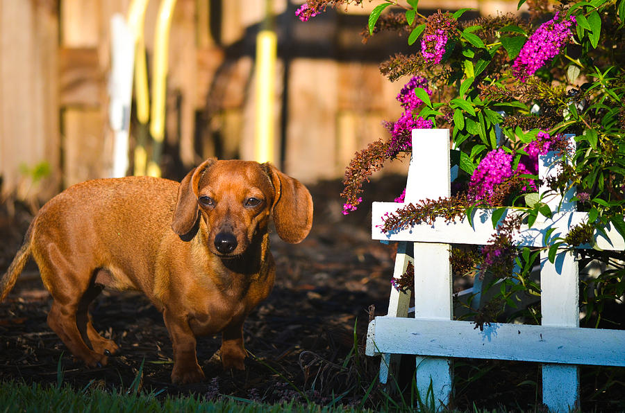 Dachshunds Photograph - In Control  by Mary Hahn Ward