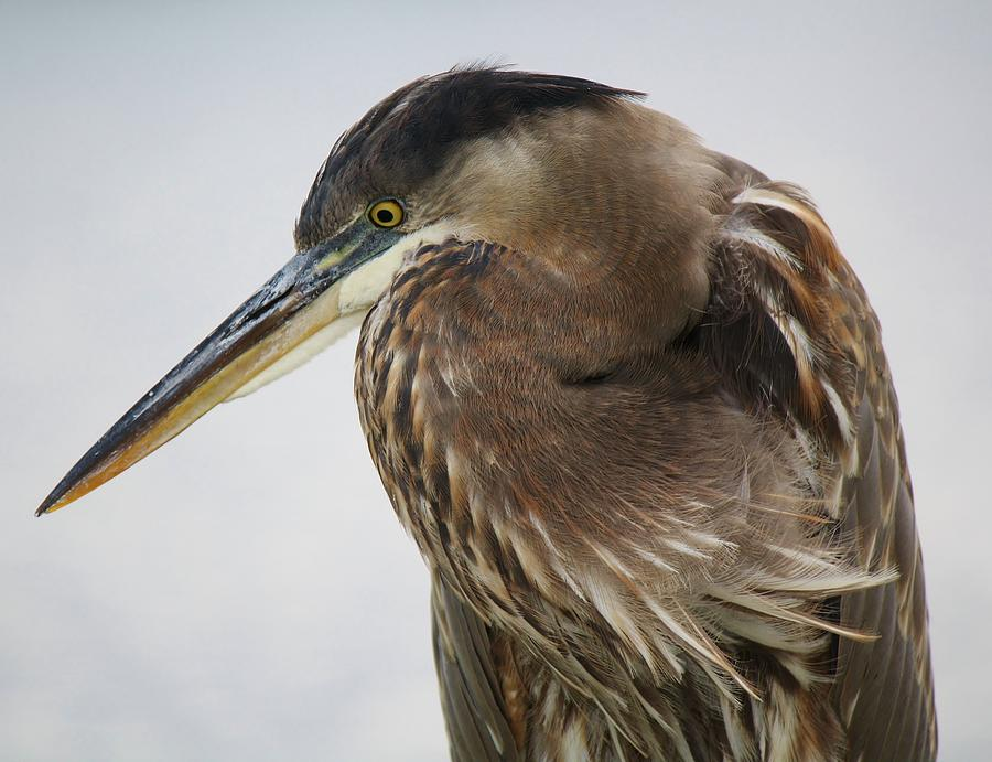 Great Blue Heron Photograph - In Deep Thought - # 13 by Paulette Thomas