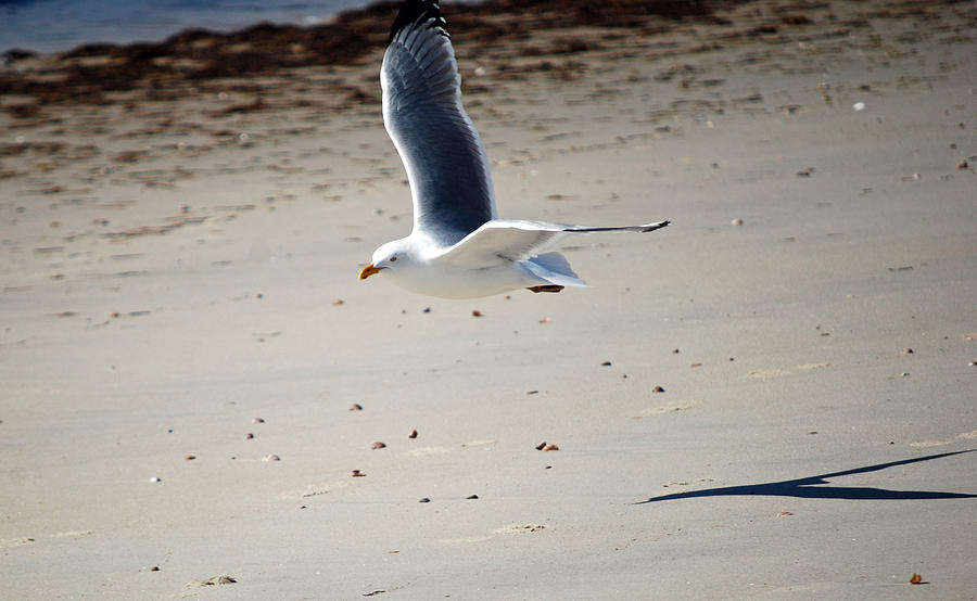 Seagull Photograph - In Flight by Alan Holbrook