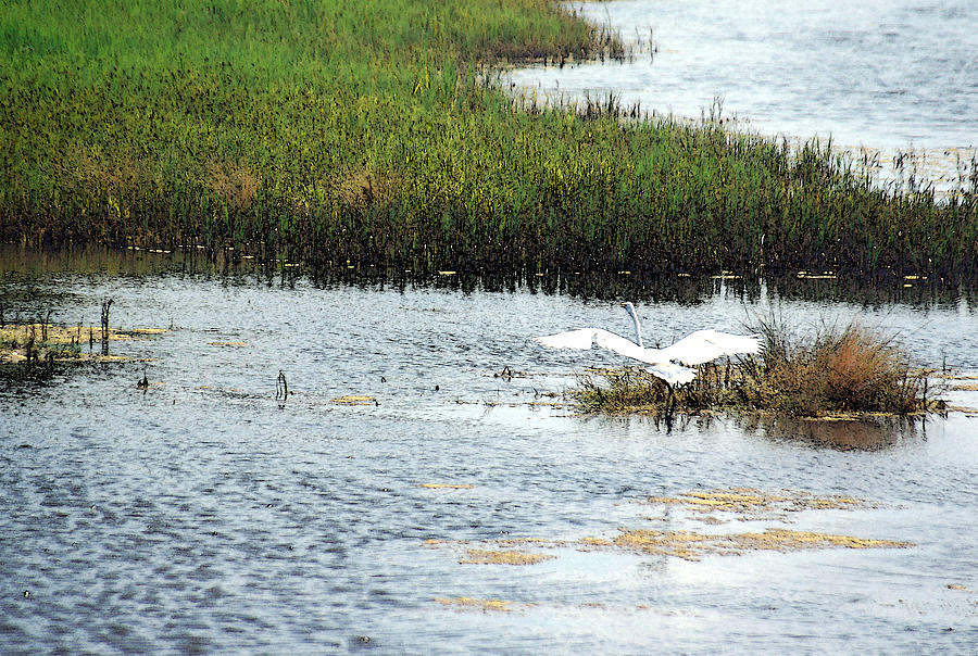 Egret Photograph - In Flight by Suzanne Gaff