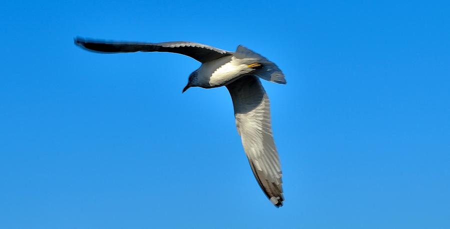 Birds Photograph - In Flight by Thomas  MacPherson Jr