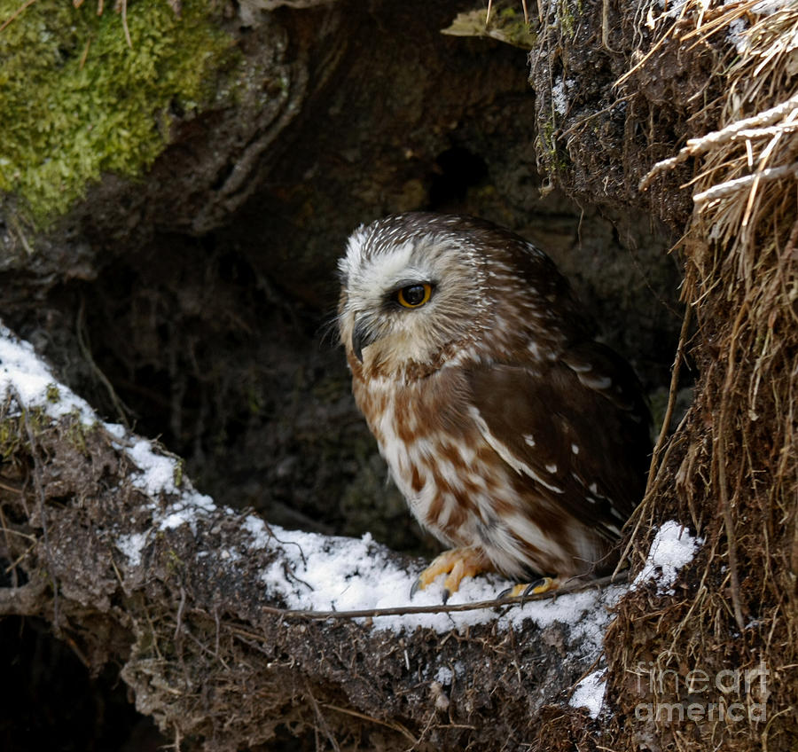 Saw Whet Owl Hide Out Photograph - In Hiding Saw Whet Owl In A Hollow Stump Is Part Of The Birds Of Prey Fine Art Raptor Wildlife Photo by Inspired Nature Photography Fine Art Photography