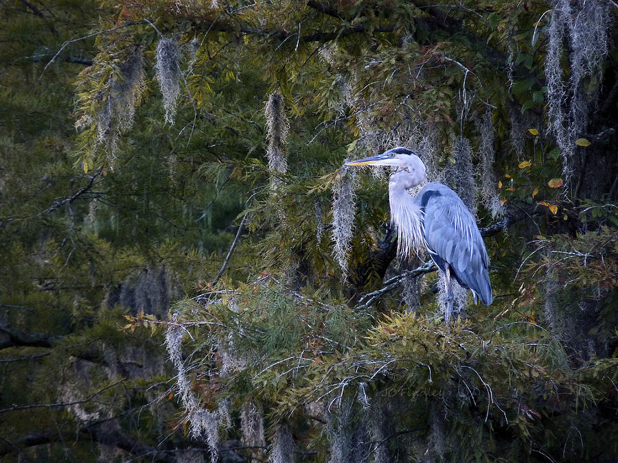 Great Blue Heron Photograph - In His Element  by JC Findley