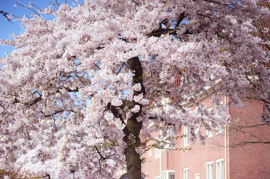 Spring Photograph - In Its Glory. Pink Spring In Amsterdam by Jenny Rainbow